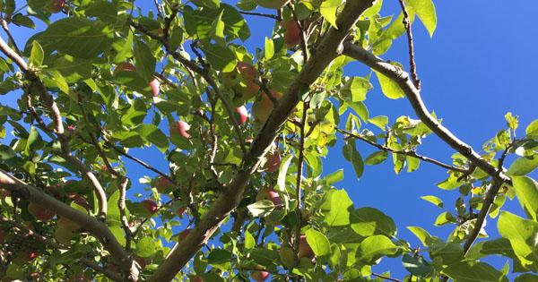 Verger_lafrance_pommes