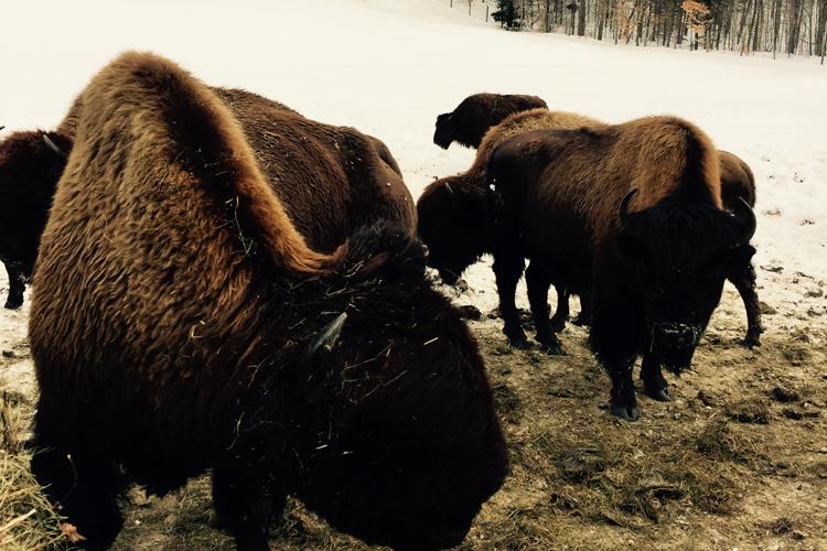 bison_750x500