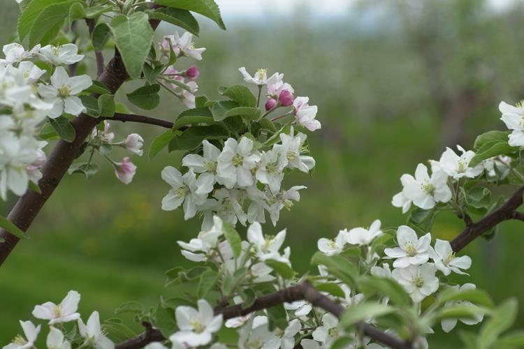 pommier_en_fleurs_mirabel